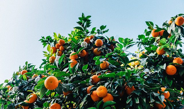 unterschied-clementine-mandarine